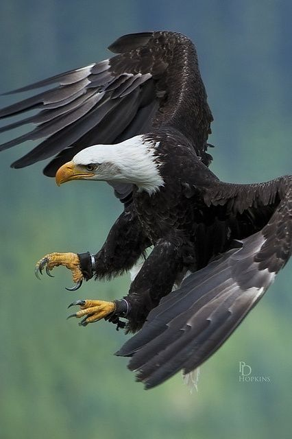 How amazing but how sad that there's trackers on both legs......Amazing Bald #Eagle in flight by PD Hopkins