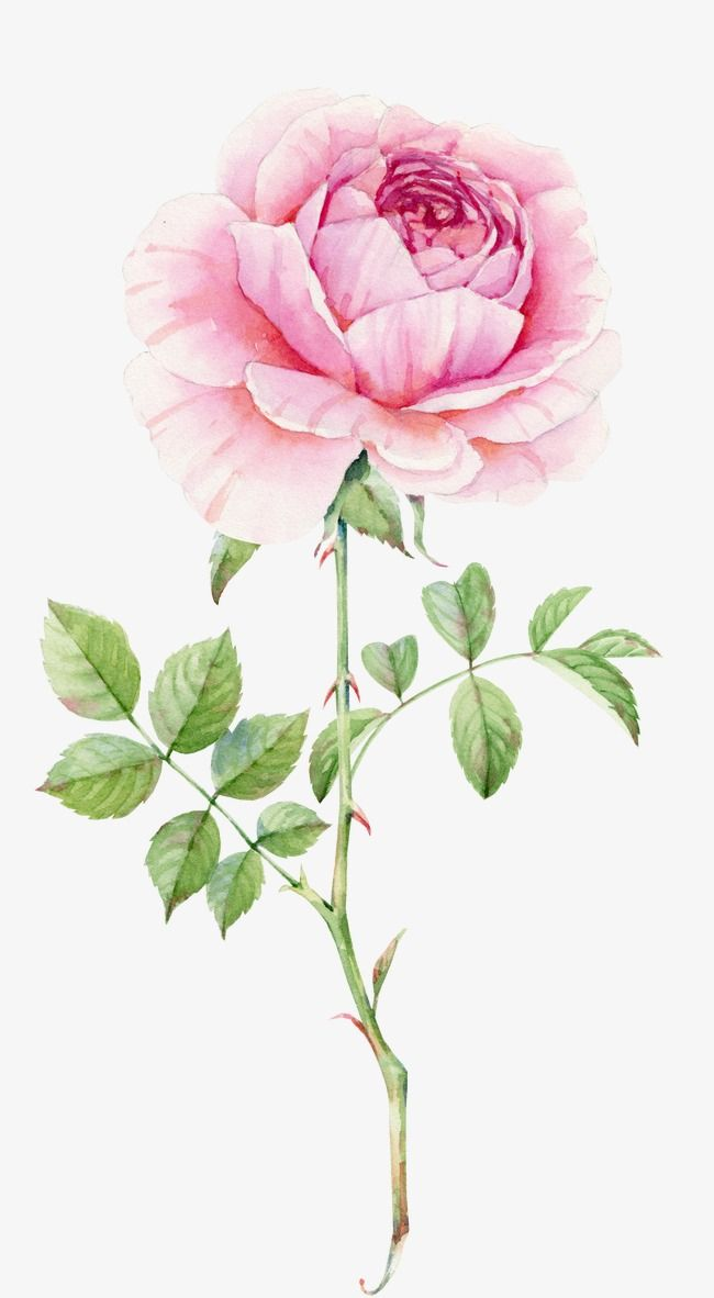 Delicate Pink Roses Watercolor Pink Watercolor Delicate Roses Pink Png Transparent Clipart Image And Psd File For Free Download Watercolor Rose Flower Drawing Watercolor Flowers