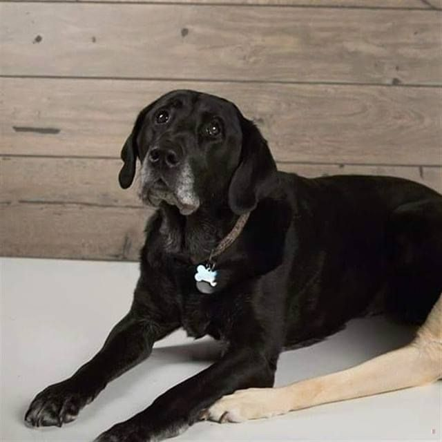 Lost Dog Duluth Labrador Retriever Male Date Lost 11 30 2019 Dog S Name Magnum Breed Of Dog Labrador Retriever Gender Male Closest Intersectio With Images Dog Ages