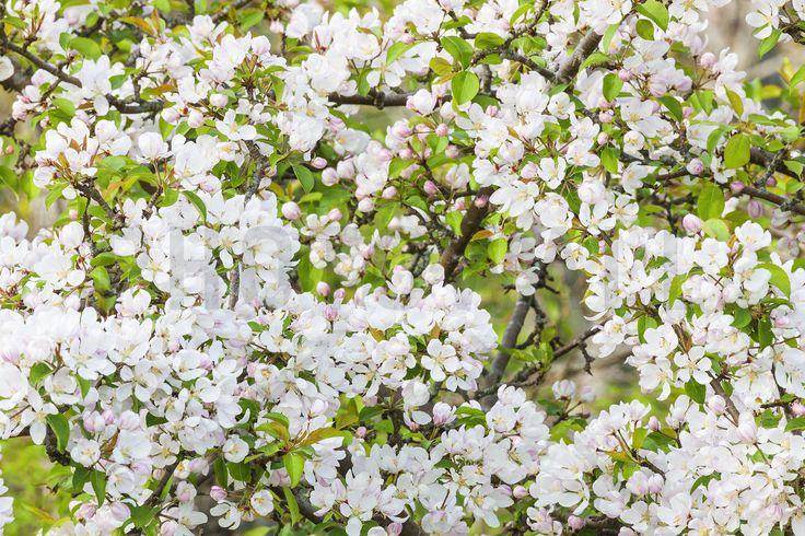 Apple Flowers - Fotobehang & Behang - Photowall