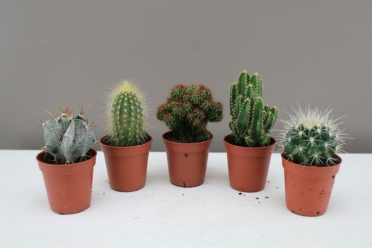1000 images about christmas cactus plants on pinterest. Black Bedroom Furniture Sets. Home Design Ideas