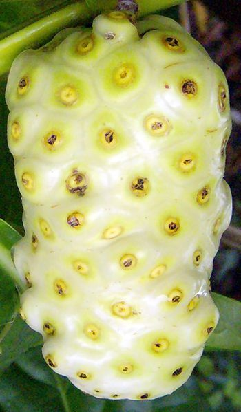 Noni Fruit: Also called The Dog Dumpling. Interesting this look like a cross between pineapple n jack fruit i wana taste