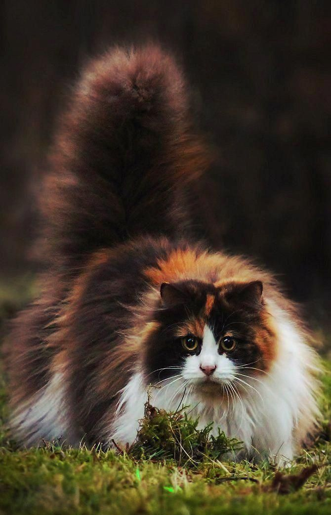 Cats Running Catskittens With Images Norwegian Forest Cat