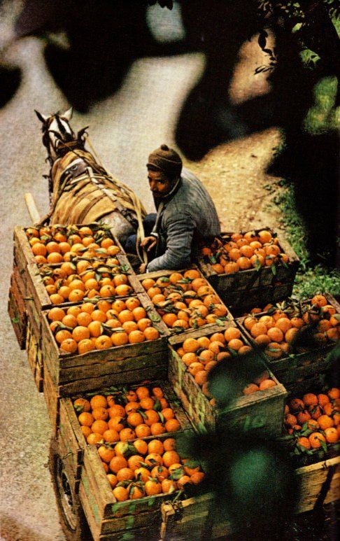 Oranges travelling by horse cart from a cooperative orchard to El Asnam, Algeria. August, 1973    kThis post has 810 notes   tThis was posted 1 year ago  rThis was reblogged from misscaitymac  Rhttp://www.marinegirls.tumblr.com
