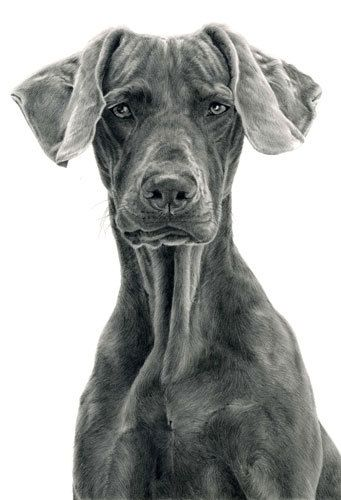 Dogs in Art at the StockBridge Gallery -  Seriously!  Weimeraner Drawing by Laura Hardie, £95.00 (http://www.dogsinart.com/products/-Seriously!--Weimeraner-Drawing-by-Laura-Hardie.html)