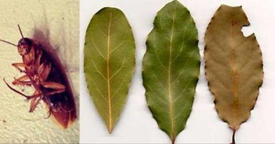 Placez quelques feuilles de cette plante dans tous les coins de votre maison et vous ne verrez plus jamais de cafards....Voici un répulsif naturel le plus puissant contre tous les insectes particulièrement aux cafards...