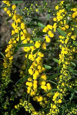 Half-leaf Wattle (Acacia sclerophylla) Australian native distributed in Qld, N.S.W, Vic, SA, WA.