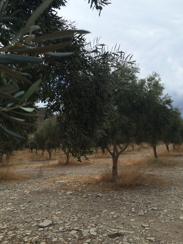 Olive trees at late summer