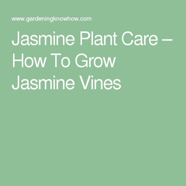 how to grow star jasmine on a wall