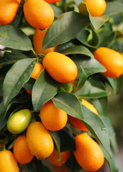 Kumquats tiny little fruits with a very bitter citrus for Plante kumquat