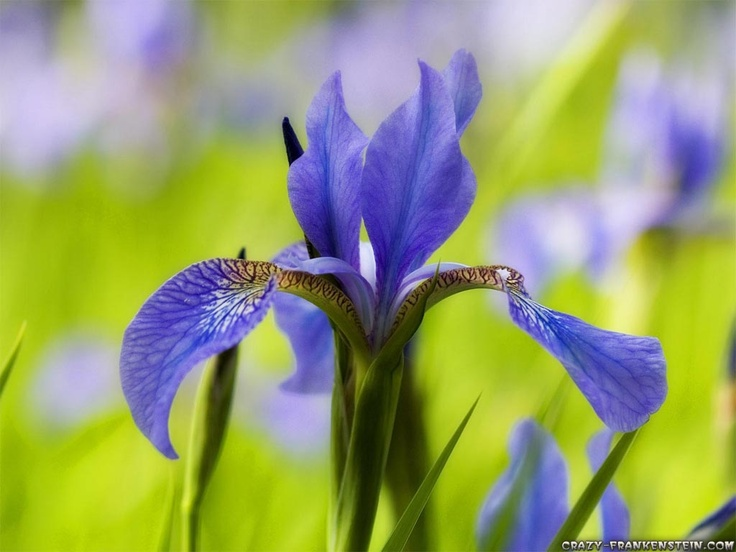 The iris is France's national flower, and a stylized version of the flower is used for the country's insignia and national emblem. The iris, or fleur-de-lis, has been used to represent French royalty since the 13th century and is said to signify perfection, light and life. In heraldic designs used by the French monarchy, the three petals also represented wisdom, faith and chivalry.