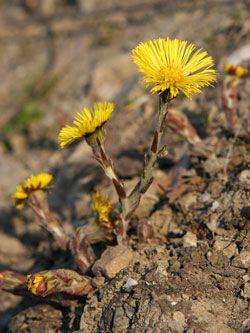 podběl lékařský - Tussilago farfara | Květena České republiky - plané rostliny…