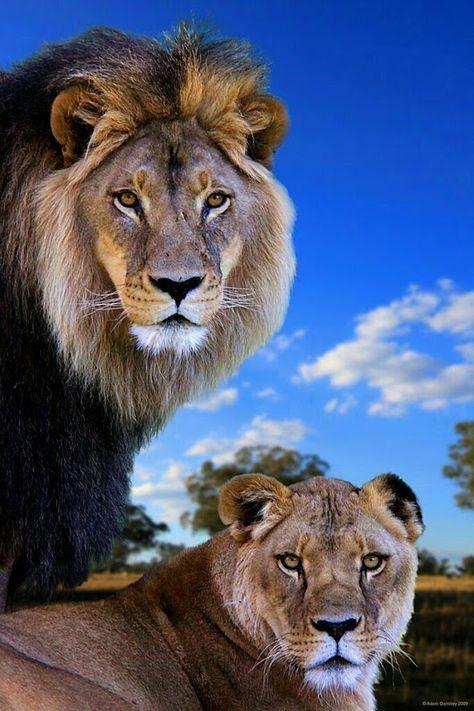 #Animales # León Su Majestad el Rey de la Selva   – Zukünftige Projekte