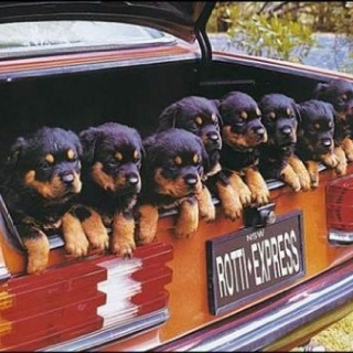 Pups!: Cute Animal, Rottweilers, Pet, Trunks, Rotti Expressions, Happy Dogs, Funny Dogs Pictures, Funny Puppies, Animal Photos