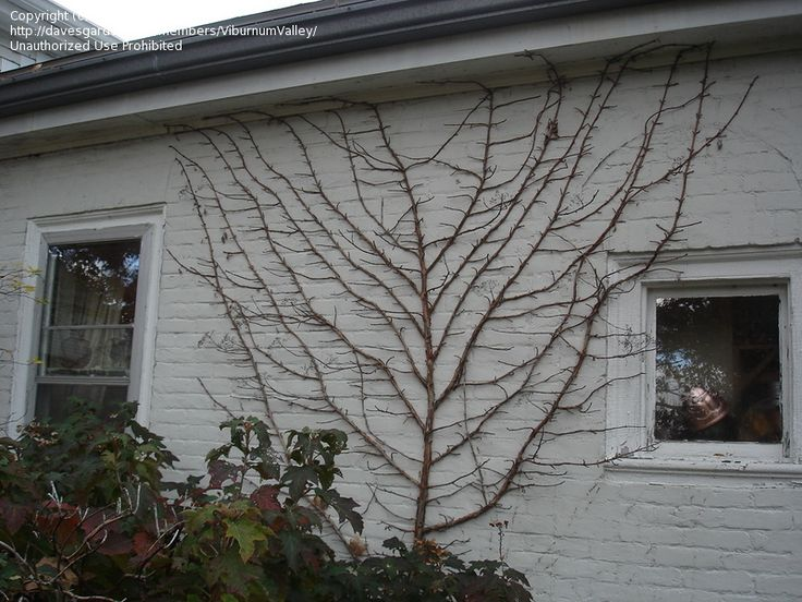 Climbing Hydrangea In Winter Choose Fence Colour Wisely Landscape Pinterest Fence