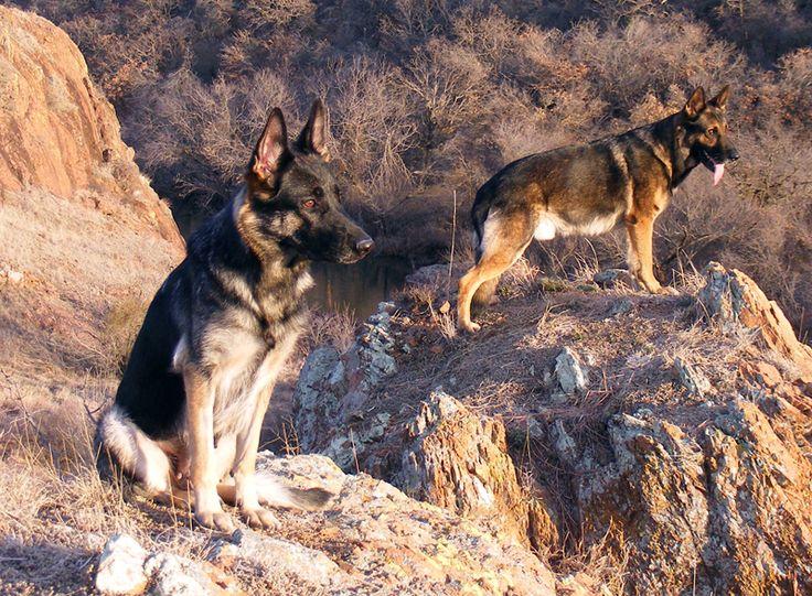 German Shepherds in ravine