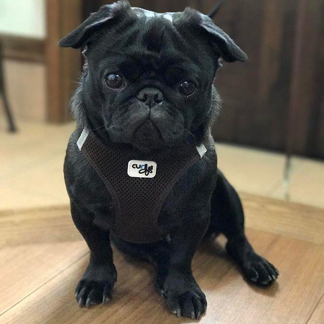 ママが来るまでちゃんと待てるよ🐶💕 . #お散歩後の足拭き待ち #こういう時は静かに待てる(笑) #待ってるだけなのに笑える😂 #frenchbulldog #frenchbulldogpugmix #pug#フレブルとパグミックス #フレパグ#ミックス犬#フレンチブルドッグ #フレブル #パグ#ぶちょーと聖子#chihuahua #チワワ #いぬ #dog #pecoいぬ部#ブヒ #鼻ぺちゃ#犬 #犬バカ部#黒パグ#愛犬 #わんこ