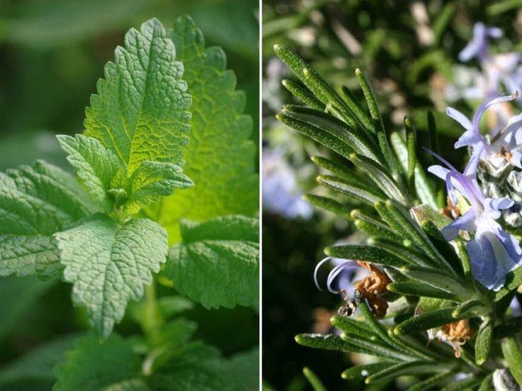 Mire használható a citromfű és a rozmaring?