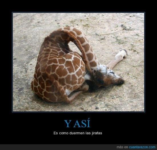 Y así es como duermen las jirafas (verbos de cambio raíz) (los animales). Visit http://www.estudiafeliz.com for more fun materials for Spanish teachers and students!