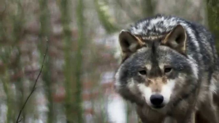 Wonderful short video about the 7 Ojibwe teachings. What the animals teach us. Courage, wisdom, respect, love, truth, humility and honesty. Absolutely beautiful