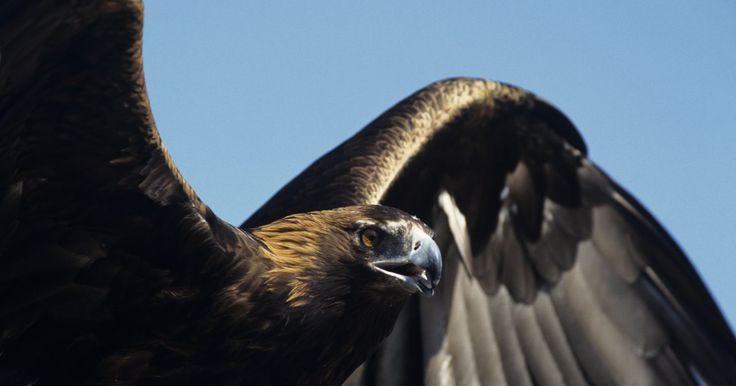 ¿Qué tipos de águila viven en el desierto?. Muchos de los desiertos del mundo son el hábitat del ave de presa más grande de la naturaleza: el águila. Incluso el águila calva norteamericana se ha adaptado para vivir en el clima seco del desierto. Estas aves rapaces comen lo que está disponible, incluyendo reptiles y pájaros más pequeños, para sobrevivir en el árido paisaje. Australia tiene ...