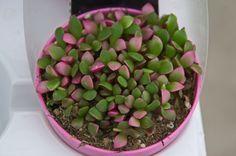 Anacampseros, una planta de fácil mantenimiento y muy bonita - https://www.jardineriaon.com/caracteristicas-y-cuidados-del-anacampseros.html #plantas
