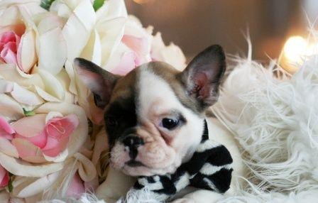 Teacup Bulldog Puppies