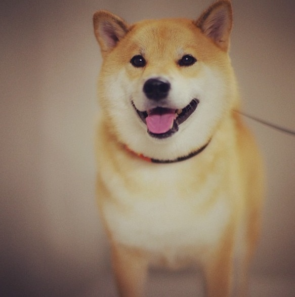 Best Shiba Inu Images On Pinterest Shiba Inu Doge And Akita - Three shiba inus stick their heads through wall to greet passers by
