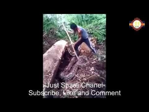 Ular terbesar ditemukan saat menebang pohon di  Kalimantan