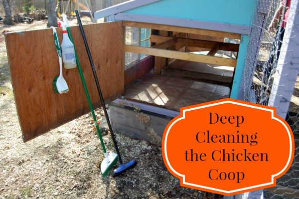Keeping your coop clean is one of the most important things to do for your flock.  Find out how to get it squeaky clean!