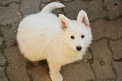 Weiße Schäferhunde - Welpe Rüde zu verkaufen in Sachsen - Penig | Schäferhund und Schäferhundwelpen kaufen | eBay Kleinanzeigen