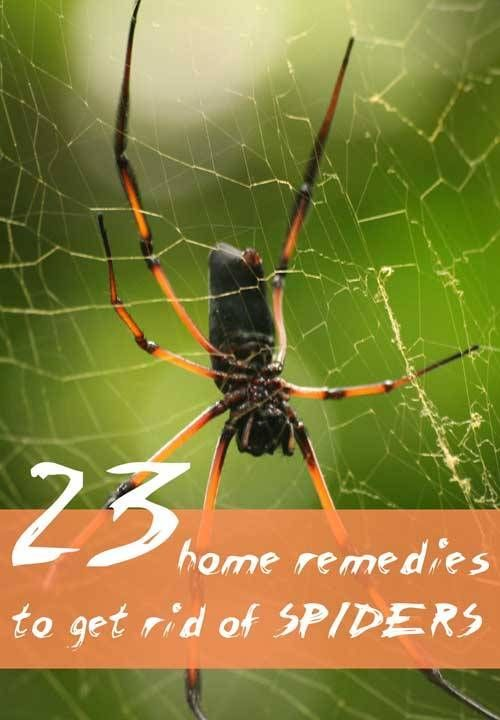Best 25 Get Rid Of Spiders Ideas On Pinterest  How To Repel Fair How To Get Rid Of Spiders In Bedroom Design Inspiration