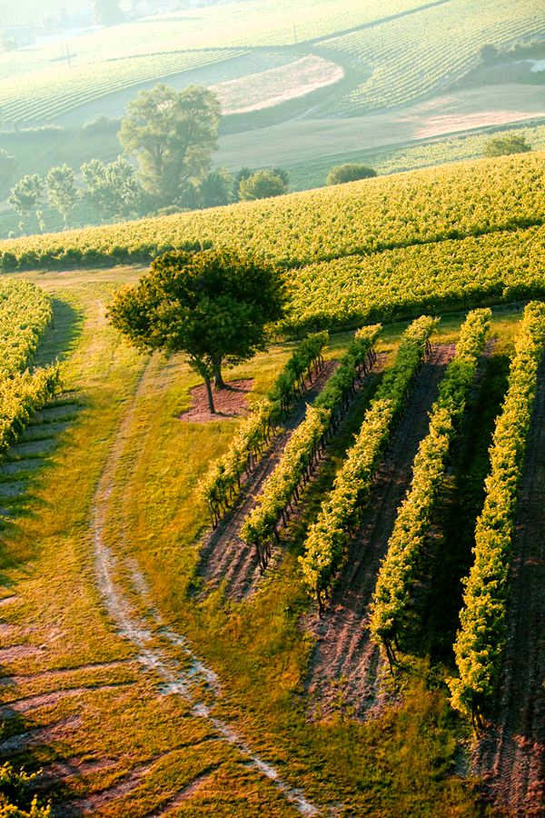 The vineyards of cognac grow near the Atlantic ocean, on the white, sun-blessed land of the Charente region
