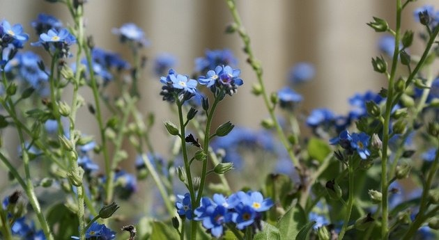 Mysotis (Forget-me-not), low growing spring bloomers, nice plants for containers and landscapes, Zone 7 - 9