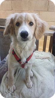 San Diego, CA - Golden Retriever/Cocker Spaniel Mix. Meet Yuya, a puppy for adoption. http://www.adoptapet.com/pet/16788603-san-diego-california-golden-retriever-mix