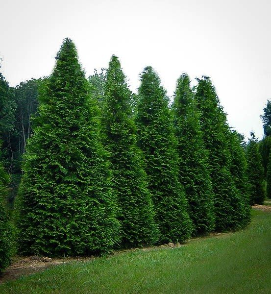 Buy Thuja Green Giant Trees Online | The Tree Center™