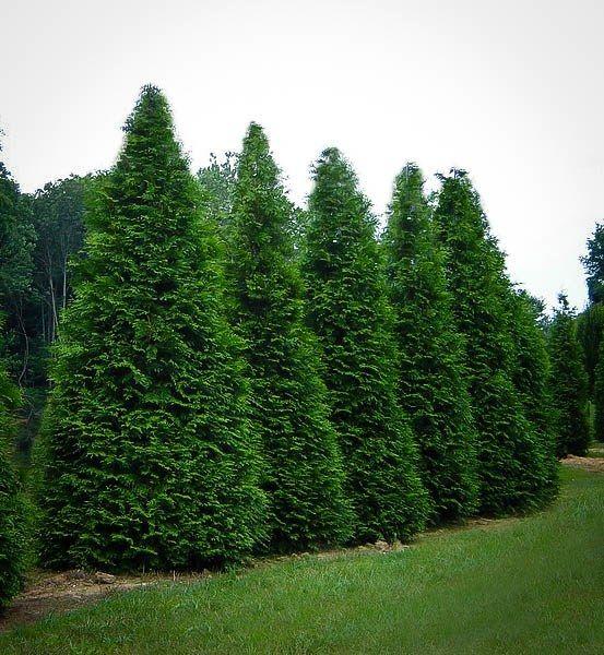 Buy Thuja Green Giant Trees Online   The Tree Center™