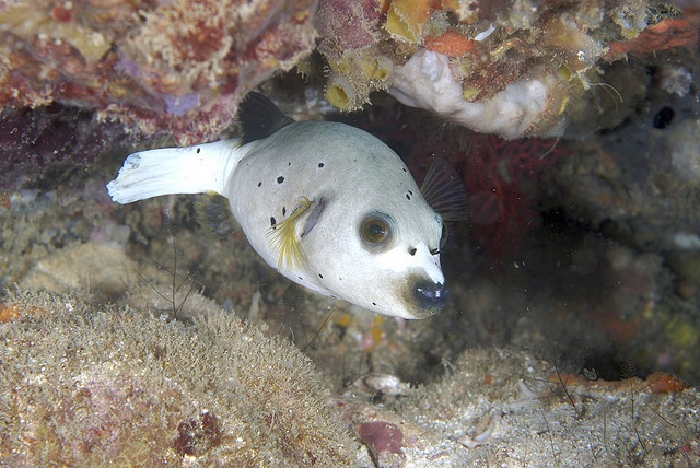 103 best images about salt water tank on pinterest for Water dog fish