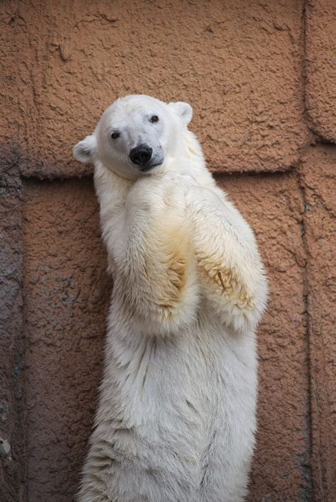 """Hewo. I'm so sweet and cute. Come here and give me a hug and kiss....RAWR I WILL EAT YOUR FACE STANDING PINK SEAL!"" This is what I imagine the polar bear is thinking."