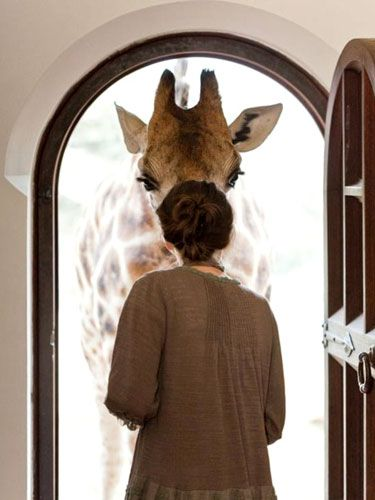 Giraffe Manor in Nairobi, KenyaKnockknock, The Doors, Front Doors, Dreams Come True, Knock Knock, Giraffes Manor, Africa, Mornings, Animal