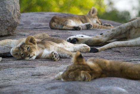 Lamai nomad lions - Top 5 best places to see lions in Africa  Thanks @Matty Chuah Luxury Safari Company #luxury #safari #conservation