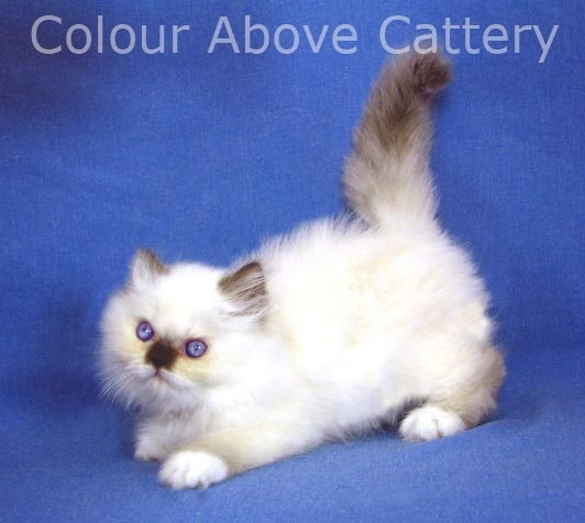 stub tail cat