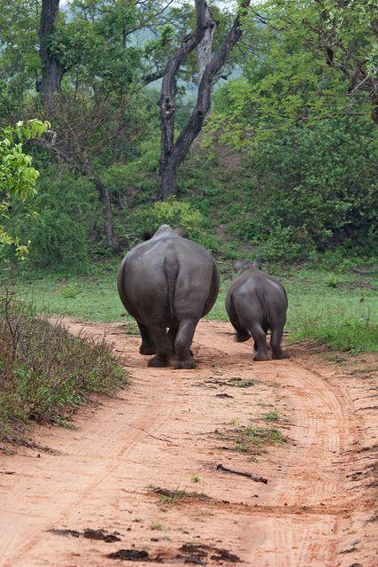 Rhinoceros - Mpumalanga, South Africa