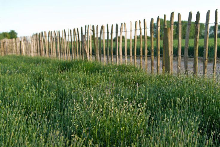 Cor van Hoeve tuinen - lavendelveldje, schapenhek <3