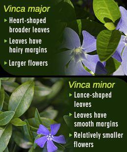 Die 25+ Besten Ideen Zu Vinca Ground Cover Auf Pinterest ... Bodendecker Vinca Minor Garten