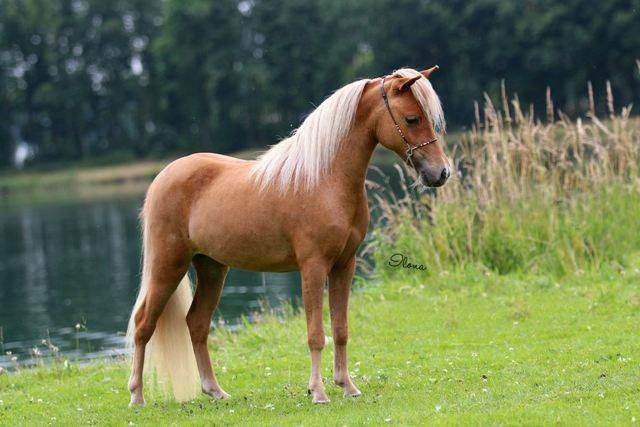 FB: SSF A Gift of Joy to Remember  American Miniature Horse filly equine photography mare caballo pferd AMH amha