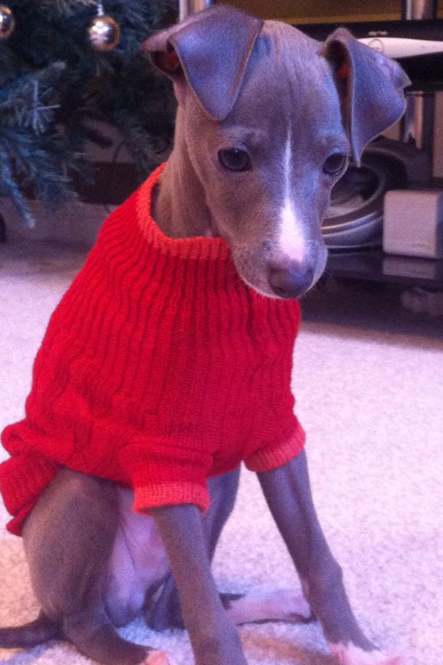 Christmas jumper on my italian greyhound...OK, but if you try to put renderer ears on me, we're going to have a problem!