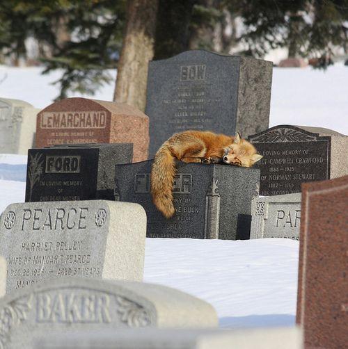 Repos éternel …. Un renard dort sur une pierre tombale    A fox sleeps on a headstone in Cimetière Mont-Royal, Montreal, Quebec