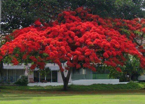 Framboyan flowers i pinterest for Arbol de fuego jardin