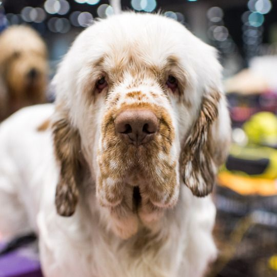 Clumber Spaniel - This medium to large-sized spaniel is sweet and gentle, with a deceptively laid-back appearance and a wicked sense of humor. Despite his sporting breed roots, he doesn't require a lot of exercise, but he's also no couch potato. The Clumber's two caveats: He sheds and slobbers.